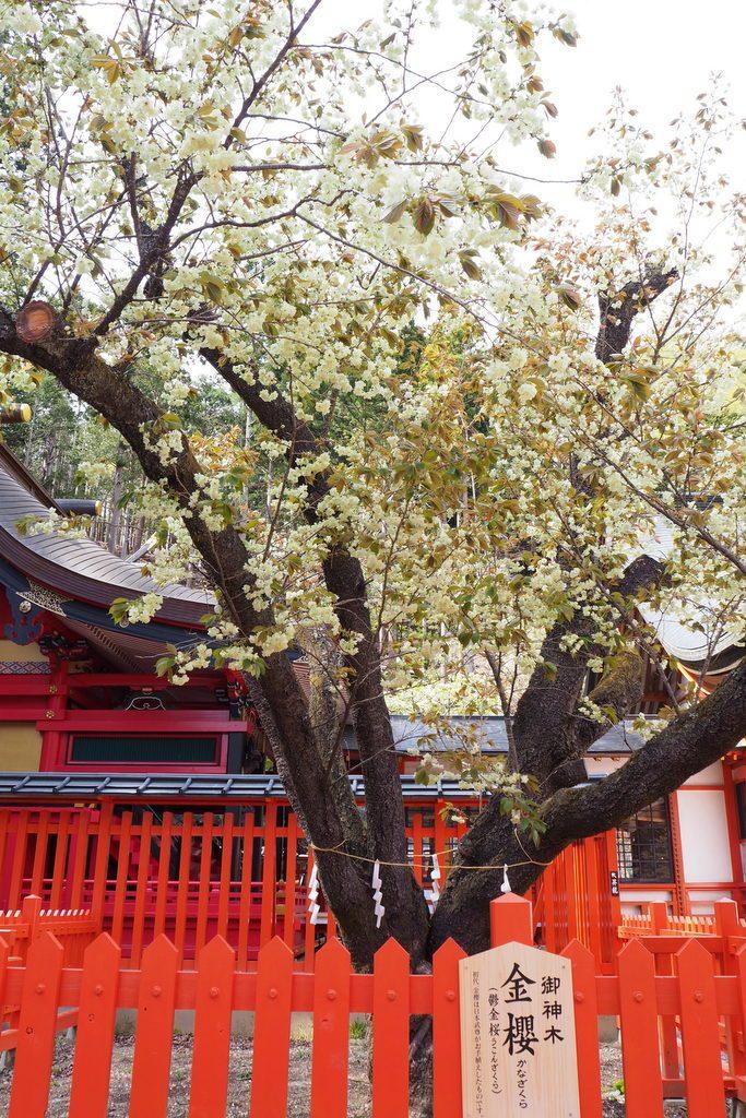 金櫻神社 鬱金桜(ウコンザクラ)