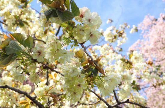 鬱金桜と桜