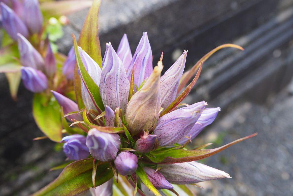 ヒスイ峡の花?