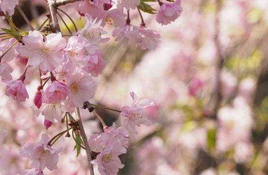 Tokyo2020桜